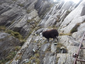 Sheep at Honister